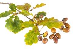 De tak van de herfst Stock Foto