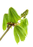 De tak van de kastanje met verse groene bladeren. Royalty-vrije Stock Foto