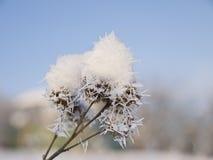 De tak van de klis die met zachte sneeuw wordt behandeld. Royalty-vrije Stock Foto's