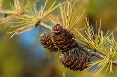De tak van de lariks met kegels in de herfst Stock Fotografie