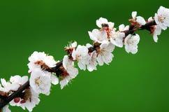 De tak van de lentesakura Stock Afbeeldingen