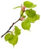 De tak van de linde met nieuwe bladeren Stock Afbeeldingen