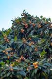 De tak van de mispelboom met vele rijpe vruchten Royalty-vrije Stock Fotografie