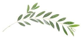 De tak van de olijf royalty-vrije stock afbeelding