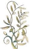 De tak van de olijf met olijfbladeren. Royalty-vrije Stock Afbeelding
