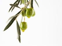 De tak van de olijf met olijven stock afbeelding
