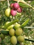 De tak van de olijf in verschillende kleur Stock Foto's