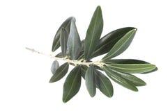 De tak van de olijf. vredes symbool Royalty-vrije Stock Foto's
