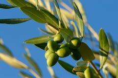De tak van de olijfboom stock afbeelding