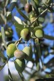 De tak van de olijfboom Royalty-vrije Stock Foto's