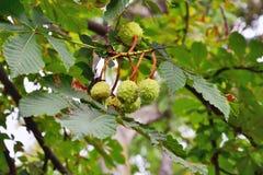 De tak van de paardekastanjeboom met conkers Stock Foto's