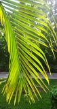 De tak van de palm. Royalty-vrije Stock Foto