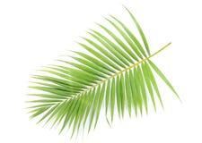 De tak van de palm stock foto's