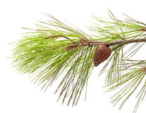 De tak van de pijnboom Royalty-vrije Stock Foto