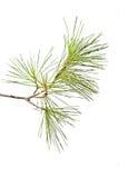 De tak van de pijnboom stock afbeelding