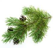 De tak van de pijnboom die op wit wordt geïsoleerdd Royalty-vrije Stock Fotografie