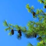 De tak van de pijnboom en blauwe hemel Stock Foto
