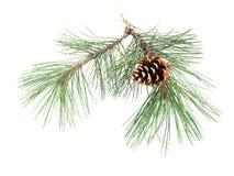 De tak van de pijnboom met de kegel Royalty-vrije Stock Fotografie
