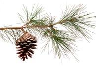 De tak van de pijnboom met kegel Royalty-vrije Stock Afbeeldingen