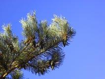 De tak van de pijnboom met kegels Royalty-vrije Stock Foto