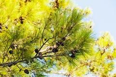 De tak van de pijnboom met kegels Stock Foto's