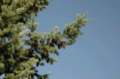 De tak van de pijnboom met kegels bij de blauwe hemel Stock Fotografie