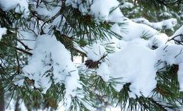 De tak van de pijnboom onder sneeuw Royalty-vrije Stock Foto