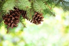 De tak van de pijnboom op abstracte lichtenachtergrond Stock Fotografie