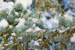 De tak van de pijnboomboom door sneeuw wordt behandeld die Royalty-vrije Stock Foto's