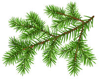 De tak van de pijnboomboom Groene pluizige pijnboomtak Royalty-vrije Stock Afbeeldingen