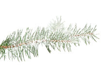 De tak van de spar die met geïsoleerde sneeuw wordt bestrooid, Stock Afbeelding