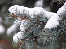 De tak van de spar in sneeuw Royalty-vrije Stock Fotografie
