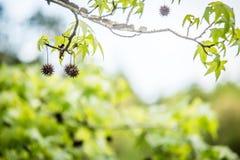 De tak van de Sweetgumboom (Liquidambar styraciflua) Stock Afbeeldingen