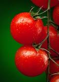De tak van de tomaat met waterdalingen Stock Afbeeldingen