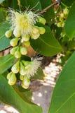 De tak van djamboevruchtbloem is bloeiend stock afbeeldingen