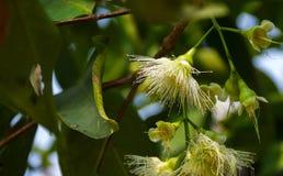 De tak van djamboevruchtbloem is bloeiend stock fotografie