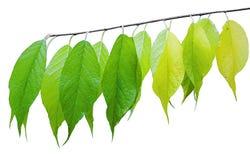 De tak van een struik met bengelende gekleurde bladeren Royalty-vrije Stock Afbeelding
