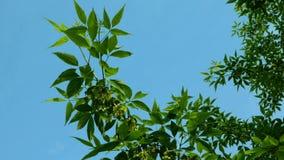 De tak van esdoorn of andere installatie, slingert in de wind tegen van schone blauwe hemelachtergrond stock video