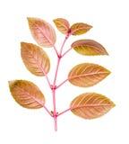 De tak van fuchsia met rode bladeren achter gedraaid aan camera is isola Royalty-vrije Stock Fotografie