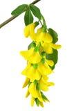 De tak van gele acacia Stock Afbeeldingen