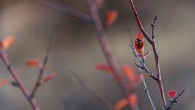 De tak van de de herfstberberis met rood bladeren en lieveheersbeestje Royalty-vrije Stock Afbeeldingen