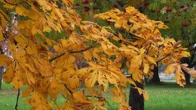 De tak van de de herfstkastanje met gouden bladeren, die in de wind slingeren stock video