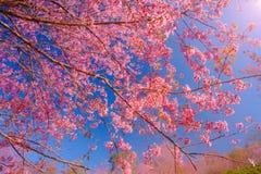 De tak van Himalayan Cherry Blossom, roept ook sakura roze kleur met blauwe hemelachtergrond Stock Afbeeldingen