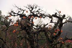 De tak van Japanse dadelpruimboom en hoogtepunt van oranje dadelpruimfruit met druppeltje na regen op witte hemelachtergrond stock afbeeldingen
