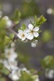 De tak van kersenbloesems Royalty-vrije Stock Afbeeldingen