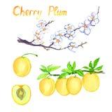 De tak van de kersenpruim met bloemen en vruchten, bladeren, besnoeiingsplak royalty-vrije illustratie