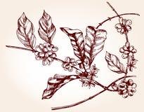 De tak van de koffieboom in schetsstijl Stock Foto