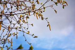 De tak van de de lenteberk Royalty-vrije Stock Afbeeldingen
