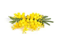 De tak van mimosa's Royalty-vrije Stock Afbeelding