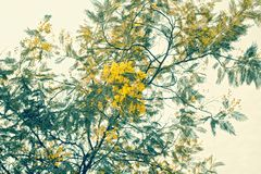 De tak van mimosa's met gele bloemen Stock Fotografie